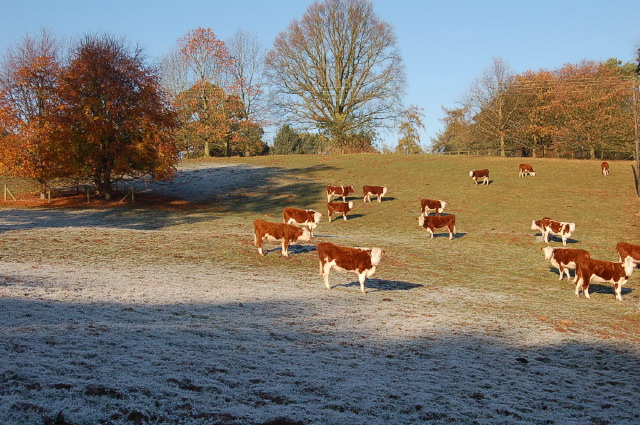 Robin's Hereford's